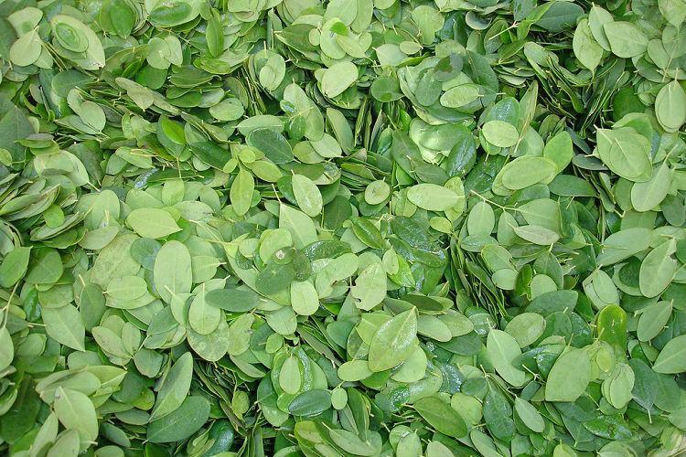 Humble Moringa Leaves