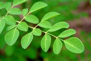 Where to buy Moringa Leaf