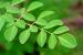 Moringa Benefits - Joby's Review Pt.1