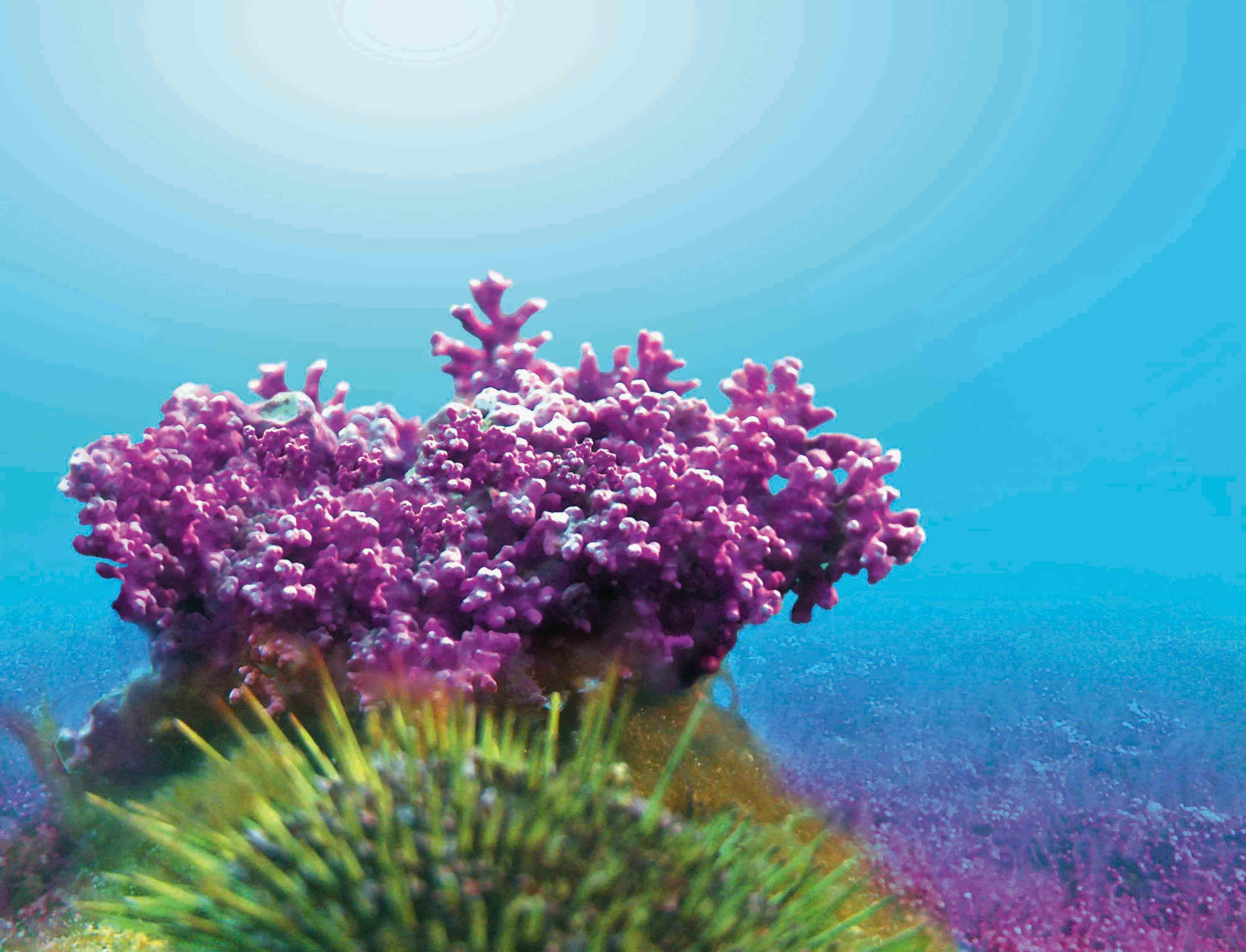 Red Algae Vegan Capsules - Review